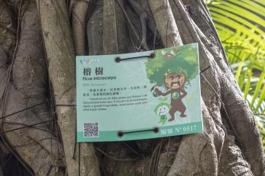盧九公園內的榕樹,編碼0517