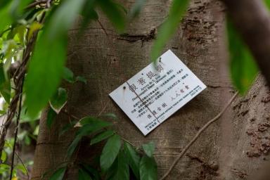 假菩提樹,古樹編號1-217