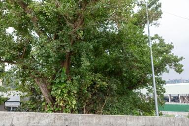以前由水路進出九澳聖母村的碼頭台階及古樹