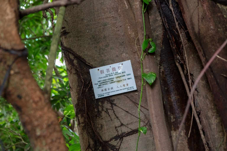 假菩提樹,古樹編號1-218